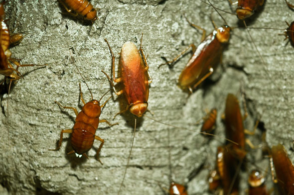 American Cockroach Infestation